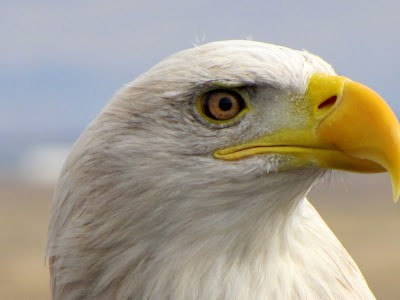 Bald Eagle Day & Craft