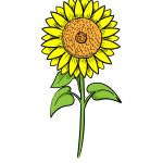 how to draw sunflower image