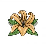 how to draw a Lily Flower image