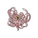 how to draw Chrysanthemum image