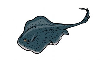 how to draw a stingray image