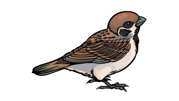how to draw a sparrow image
